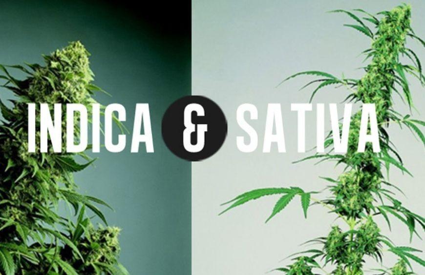 Les différences entre Sativa et Indica