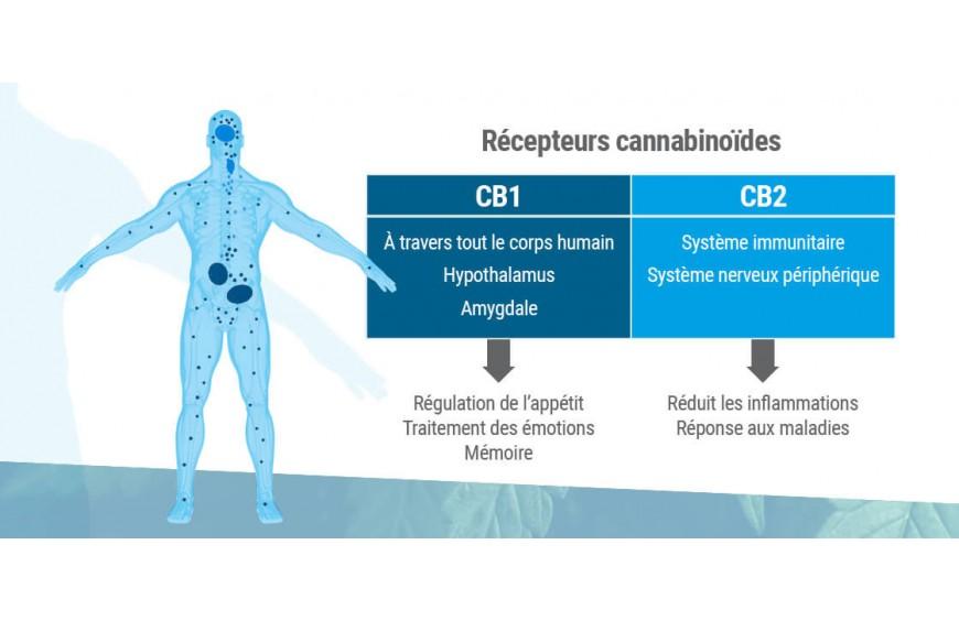 Comprendre les récepteurs et le système endocannabinoïde